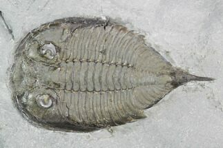 "2.1"" Dalmanites Trilobite Fossil  - New York For Sale, #99074"