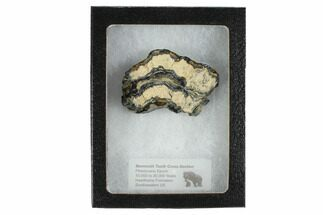 Mammuthus columbi - Fossils For Sale - #99525