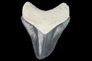 Carcharocles megalodon - Fossils For Sale - #99843