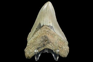 "4.23"" Fossil Megalodon Tooth - North Carolina For Sale, #99860"