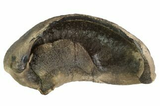 "3.6"" Fossil Whale Ear Bone - Miocene For Sale, #99980"