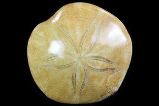"2.9"" Polished Fossil Sand Dollar (Pygurus) - Jurassic For Sale, #100112"