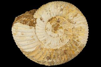 Perisphinctes - Fossils For Sale - #100281