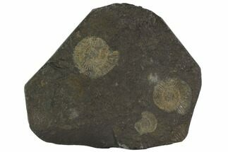 Dactylioceras - Fossils For Sale - #100278