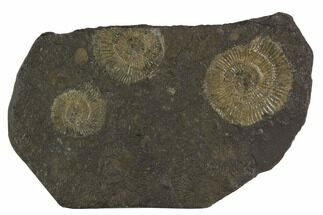 "4.7"" Dactylioceras Ammonite Cluster - Posidonia Shale, Germany For Sale, #100280"