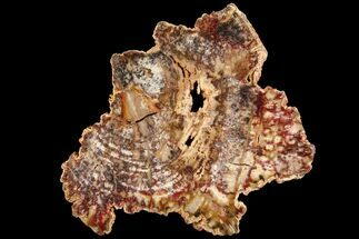 "5.6"" Petrified Palm Wood (Basralocus) Slab - Burma For Sale, #100343"