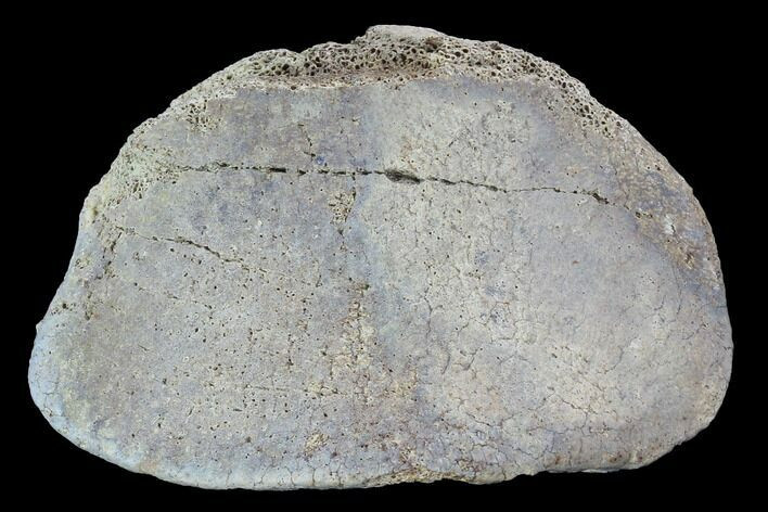 "3"" Hadrosaur Foot Bone - Alberta (Disposition #000028-29)"