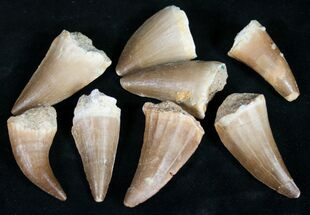 "Buy 1"" Fossil Mosasaur Teeth - Single Tooth - #100573"