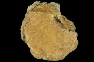 Triceratops sp. - Fossils For Sale - #100410