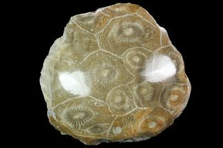 "2.4"" Polished Fossil Coral (Actinocyathus) - Morocco For Sale, #100670"