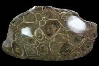 "3.3"" Polished Fossil Coral (Actinocyathus) - Morocco For Sale, #100622"