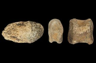 "4.2"" Composite Hadrosaur Finger - Alberta (Disposition #000028-29) For Sale, #100784"