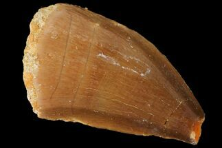 "Bargain, 1.2"" Mosasaur (Prognathodon) Tooth - Morocco For Sale, #101063"