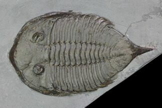 "Buy 2.55"" Dalmanites Trilobite Fossil  - New York - #101554"