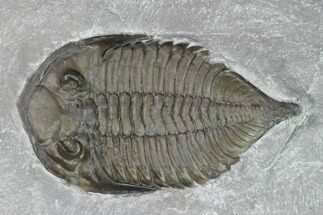 "2.15"" Dalmanites Trilobite Fossil  - New York For Sale, #101555"