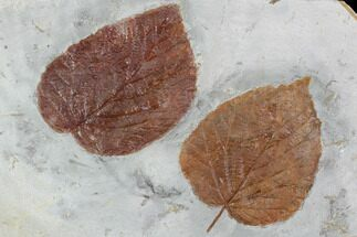 Buy Two Fossil Leaves (Beringiaphyllum, Davidia) - Montana - #101965