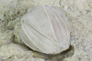 "Buy .6"" Blastoid (Pentremites) Fossil - Illinois - #102271"