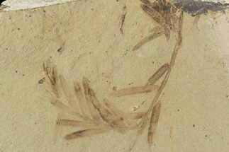 Metasequoia (Dawn Redwood) - Fossils For Sale - #102333