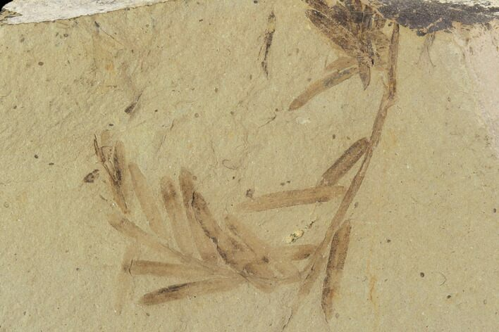 Metasequoia (Dawn Redwood) Fossils - Montana