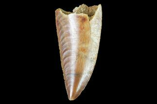 "1.05"" Raptor Tooth - Real Dinosaur Tooth For Sale, #102386"
