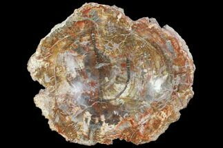 "10.1"" Polished Petrified Wood Bowl - Madagascar For Sale, #102881"