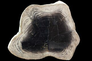 "9.2"" Petrified Wood Slab (Juniper) - Nevada For Sale, #103040"