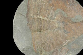 Ogyginus cordensis - Fossils For Sale - #103119
