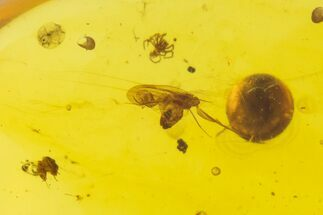 Buy Cretaceous Fossil Bee & Tiny Spider in Amber - Myanmar - #102991
