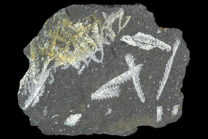 "2.0"" Fossil Graptolite Cluster (Didymograptus) - Great Britain"