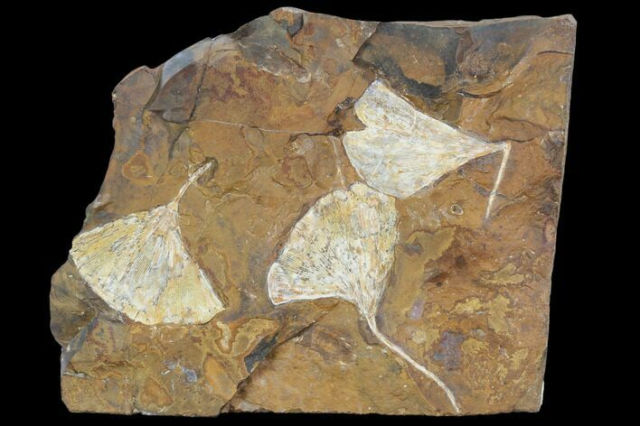 Fossil Ginkgo Leaves From North Dakota - Paleocene