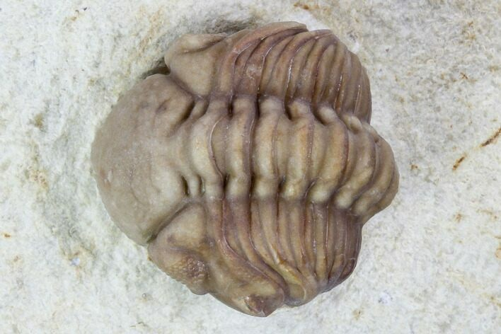 ".7"" Wide, Enrolled Lochovella (Reedops) Trilobite - Oklahoma"