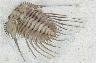 "1"" Kettneraspis Trilobite - Black Cat Mountain, Oklahoma For Sale, #104027"