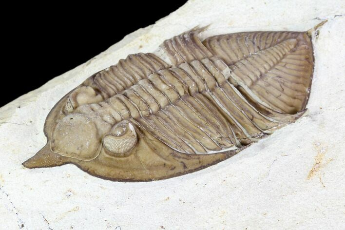 "3.3"" Huntonia Trilobite - Black Cat Mountain, Oklahoma"
