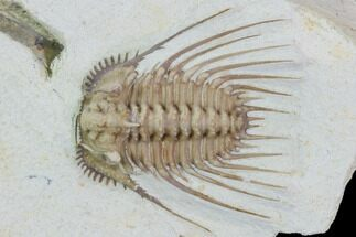 "Buy 1.05"" Kettneraspis Trilobite - Black Cat Mountain - #104116"