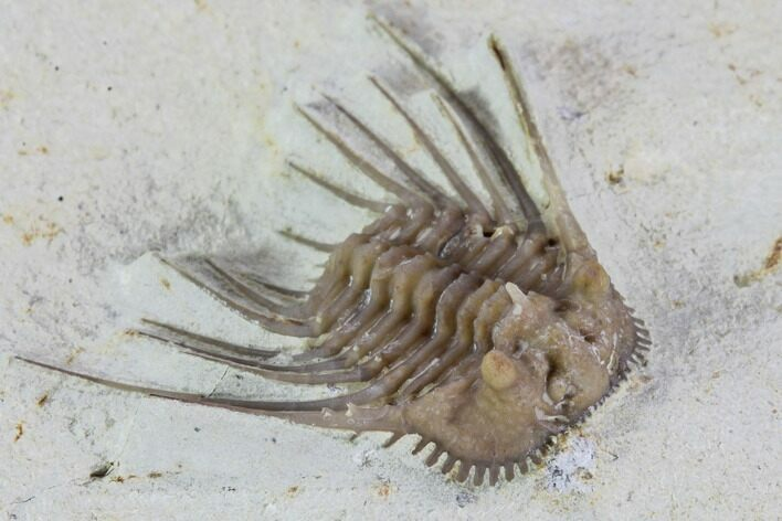 ".8"" Kettneraspis Trilobite - Black Cat Mountain"