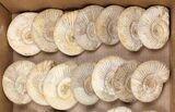 Wholesale Lot: 10 Lbs Perisphinctes Ammonite Fossils - 32 Pieces - #103889-2