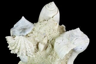 "Buy 3.3"" Tall, Miocene Fossil Gastropod Cluster - France - #104131"