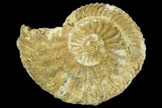 Cardioceras cordatum - Fossils For Sale - #104550