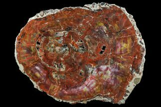 "Buy 18.4"" Rainbow Petrified Wood (Araucarioxylon) Slab - Arizona - #104590"