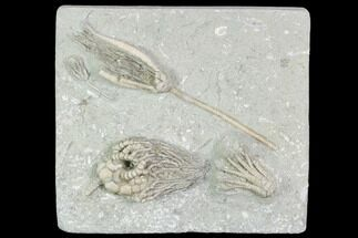 "Buy 4.1"" Beautiful Crinoid Plate (4 Species) - Crawfordsville, Indiana - #104752"