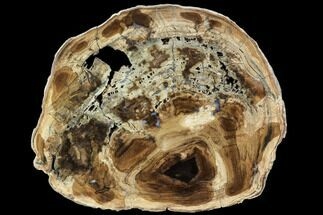 "6.6"" Petrified Wood (Cherry) Round - McDermitt, Oregon For Sale, #104915"