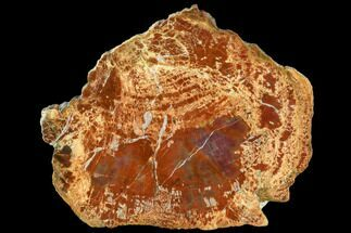 "Buy 7.1"" Brilliant, Polished Red Petrified Wood Slab - Arizona - #104923"