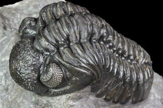 "Buy 1.8"" Adrisiops Weugi Trilobite - Scarce Phacopid Species - #104962"