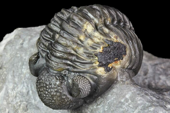 "1.9"" Adrisiops Weugi Trilobite - New Phacopid Species"