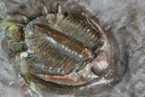 ".63"" Basseiarges Trilobite - Jorf, Morocco - #105351-3"