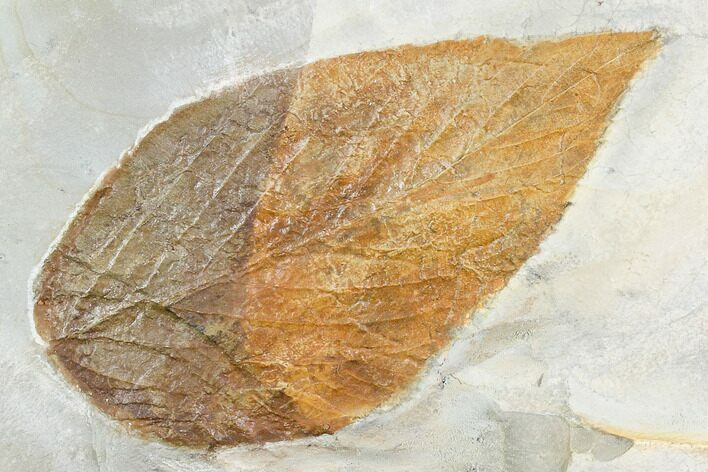 "Large, 4.4"" Fossil Hackberry (Celtis) Leaf - Montana"