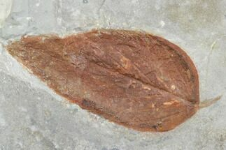 Celtis asperum - Fossils For Sale - #105201