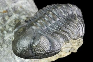 "1.3"" Huge Eyed, Austerops Trilobite - Morocco For Sale, #105359"
