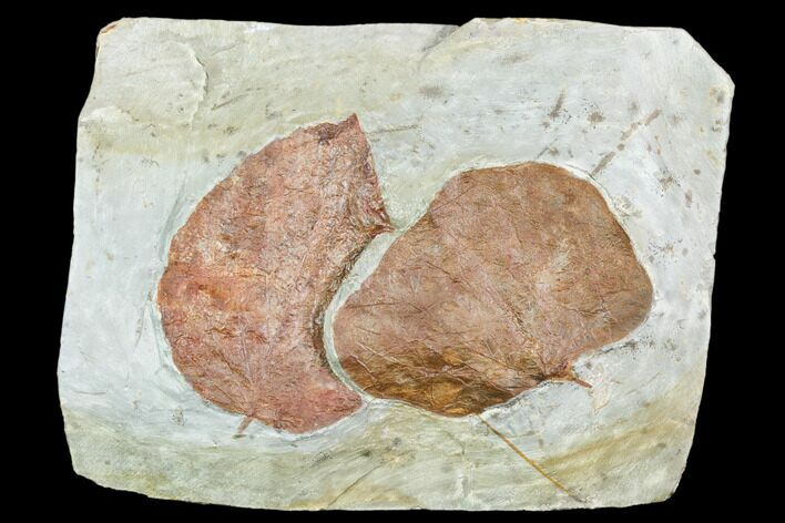 Two Fossil Leaves (Davidia, Zizyphoides) - Montana