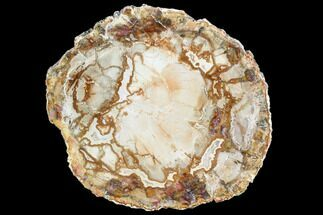 "4.9"" Petrified Wood (Araucaria) Slice - Madagascar For Sale, #105362"